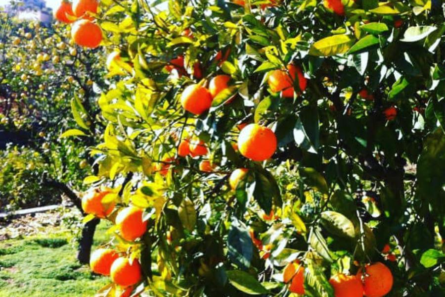 Les Orangeraies du Chemin Lintier